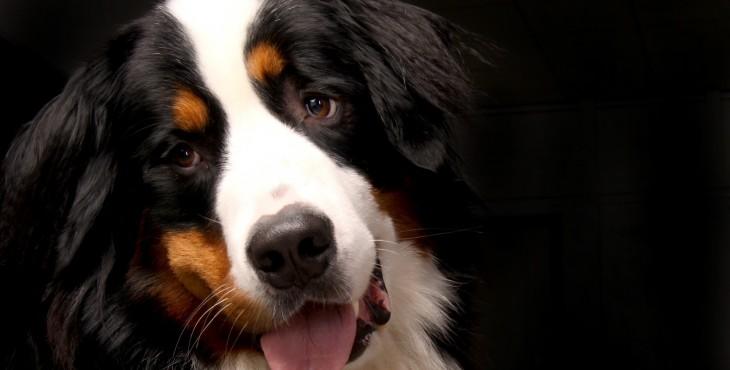 Bernský salašnícky pes (Berner Sennenhund)