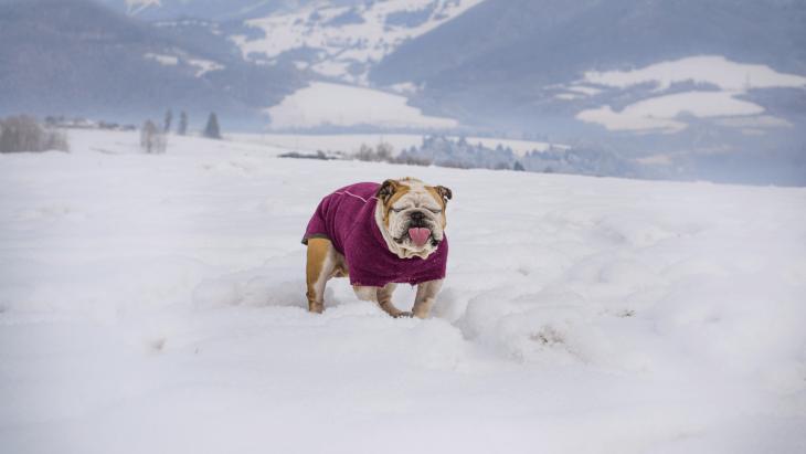 sveter pre psov, bunda pre psov, overal pre psov, ruffwear, fialový sveter pre psov, anglický bulldog, pesbruno