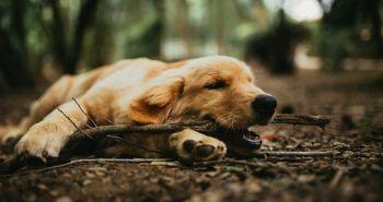 Aké šteniatko sa k tebe hodí? Pomôcť ti môže Campbellov test