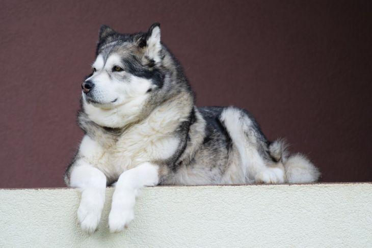psy vhodné pre deti, pes vhodný k deťom, aljašský malamut