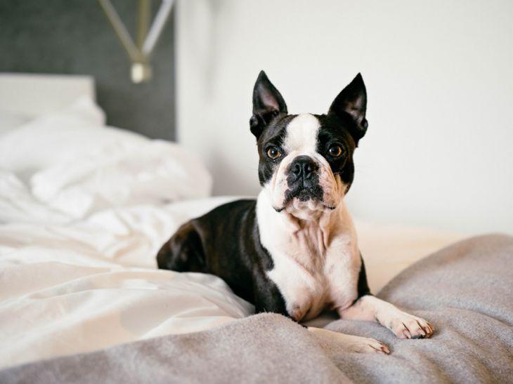 pes vhodný k deťom, pes pre deti, bostonský terier