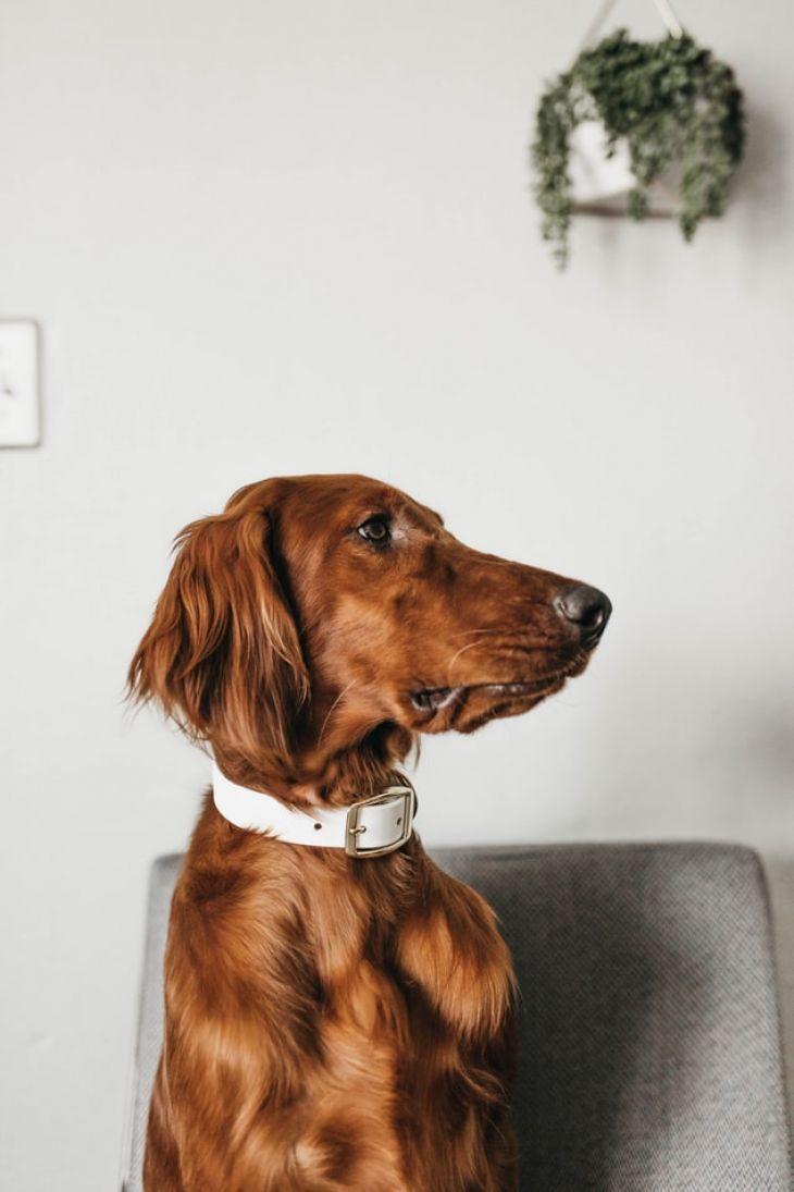 pes vhodný k deťom, irsky seter