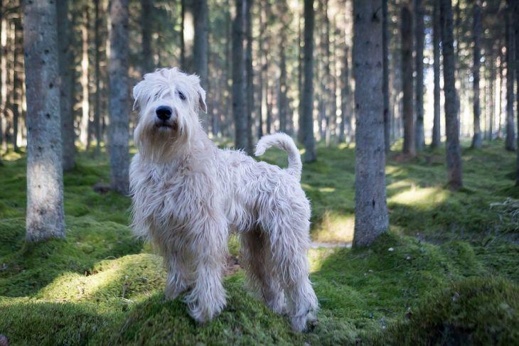 pes vhodný k deťom, pšeničný teriér jemnosrstý
