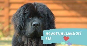 Novofundlandský pes (Newfoundland dog)