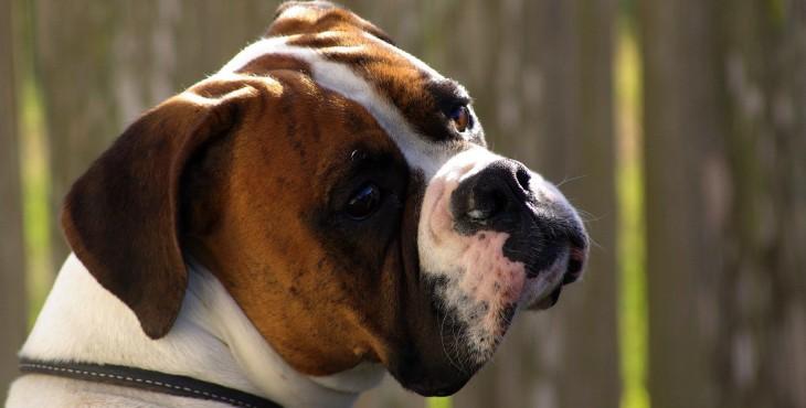 Boxer (Deutscher boxer)