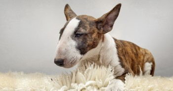 Bulterier (Bull Terrier, English Bull Terrier)