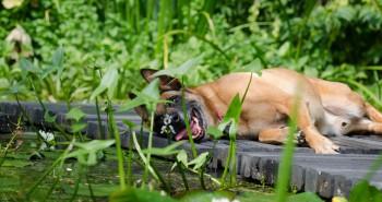 Psy a letné horúčavy