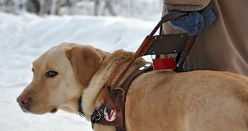 O výchove budúceho vodiaceho psa