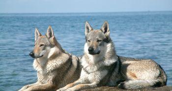 Československý vlčiak (Czechoslovakian wolfdog)