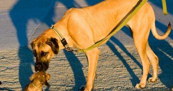 Prečo veľké psy žijú kratšie, ako tie malé?