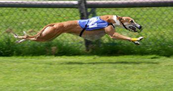 Coursing - šport pre rýchle psy