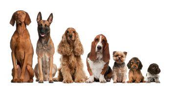 100 rokov šľachtenia zničilo väčšinu plemien psov