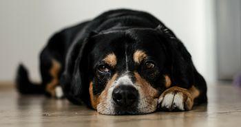 Zlyhávajú tvojmu psíkovi obličky? Čo je skutočná príčina?