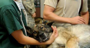 Vedel si, že pes môže trpieť torziou sleziny?