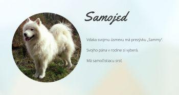 Samojed (samoyed, samojedskaja sabaka)
