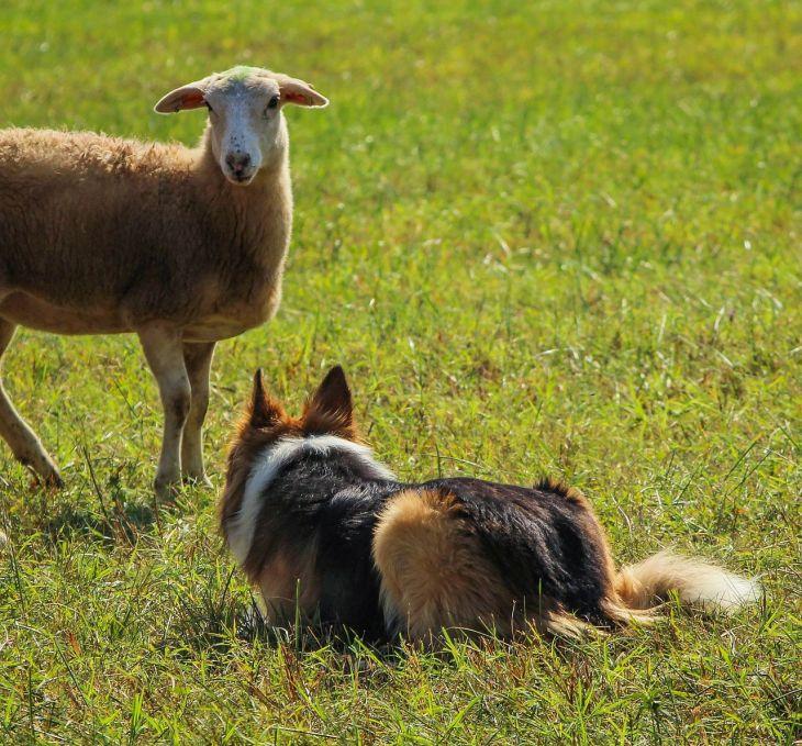 pasenie, pasenie so psom, psie športy