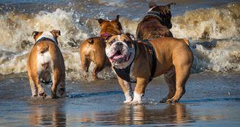 Top 10 rebríček najlenivejších plemien psov. Súhlasíš s ním?