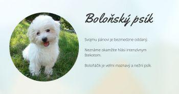 Boloňský psík (Bolognese)