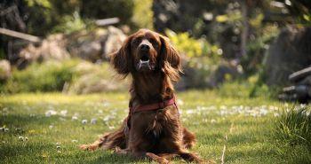 Pátranie po kliešťoch na tele psa: Ktorých 5 miest nevynechať?