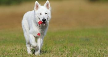 Biely švajčiarsky ovčiak (Berger Blanc Suisse, White swiss shepherd dog, Švíčarský ovčák)