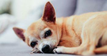 Odborníci varujú pred vytláčaním análnych žliaz psov
