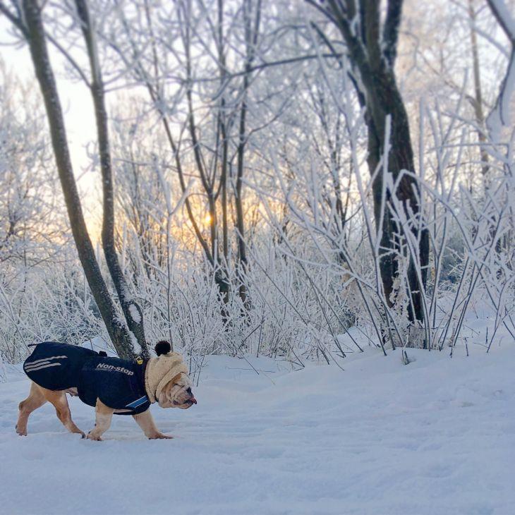 bunda pre psa, kabát pre psa, anglický bulldog, pes bruno