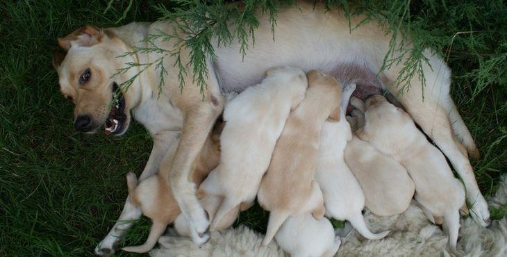 Gravidita U Psa V číslach A Faktoch Pes Bruno