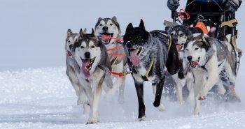 Psie záprahy. Adrenalínový život mašera a jeho záprahových psov