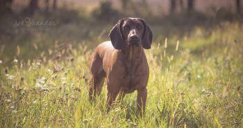 Bavorský farbiar (Bavarian mountain scenthound, Bavorský barvář)