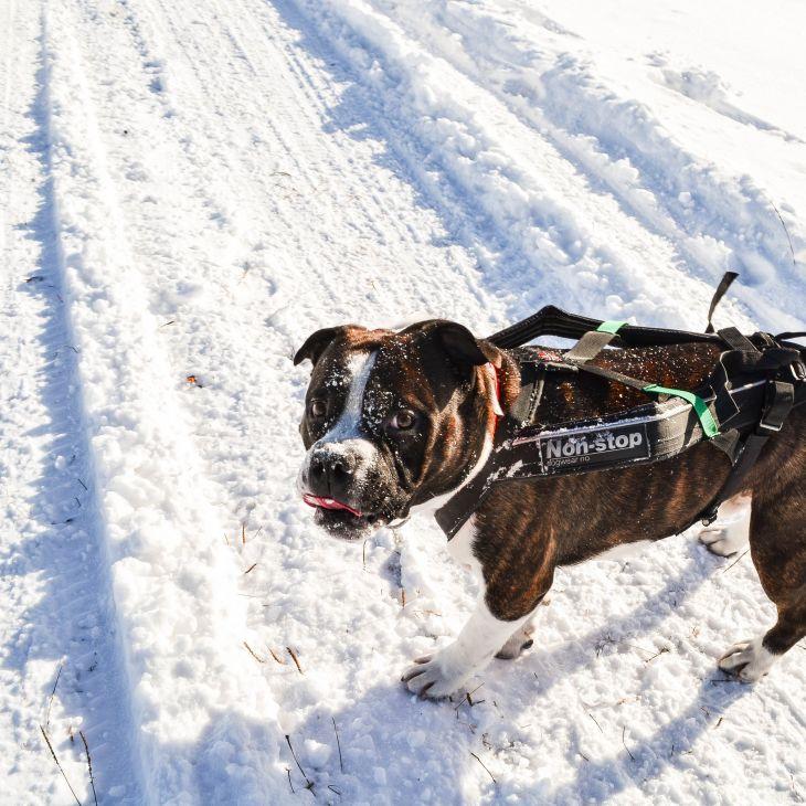 športový postroj pre psa, postroj pre psa, postroj pre psy, postroj freemotion nonstopdogwear, pes bruno