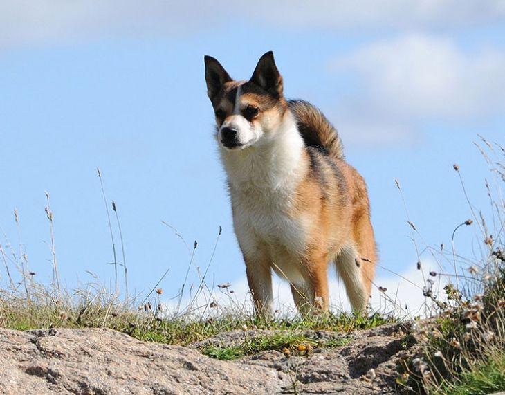 laba-primitivne-plemeno-norwegian-lundehund