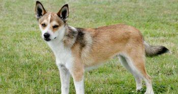 Nórsky vtačí pes (Norwegian lundehund, Norský lundehund)