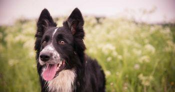 Obojok a pipeta proti kliešťom. Účinná prírodná ochrana našich psov