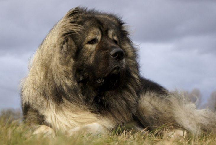 kaukazsky-ovciak-pes-kaukaz-plemeno