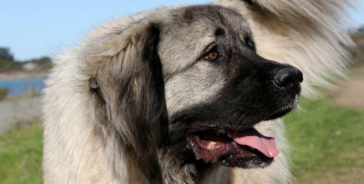 Kaukazský ovčiak (Caucasian Mountain dog, Kavkazskaya Ovcharka, Kavkazský pastevecký pes)