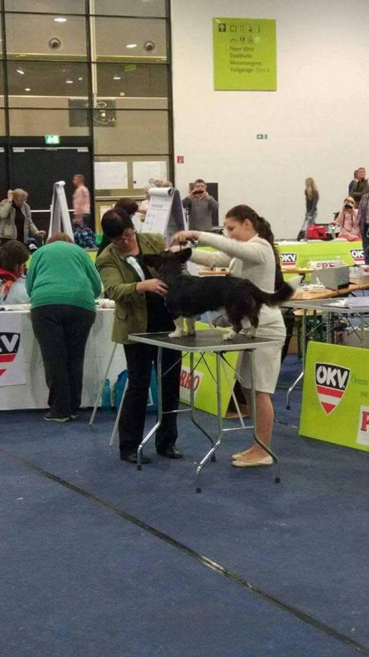 výstava psov, handling
