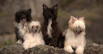 Čínsky chocholatý pes (Chinese crested dog, Čínsky naháč)
