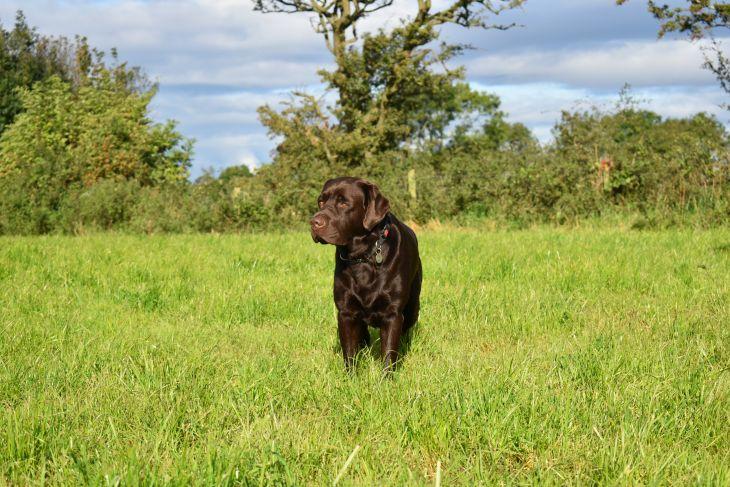 labrador, chocolate labrador, čokoládový labrador, výcvik psa, pozitívne metódy výcviku so psom