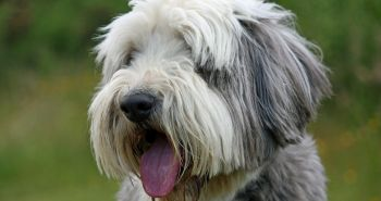 Bradatá kólia (Bearded Collie)