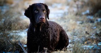 Kučeravosrstý retríver (Curly Coated retriever)