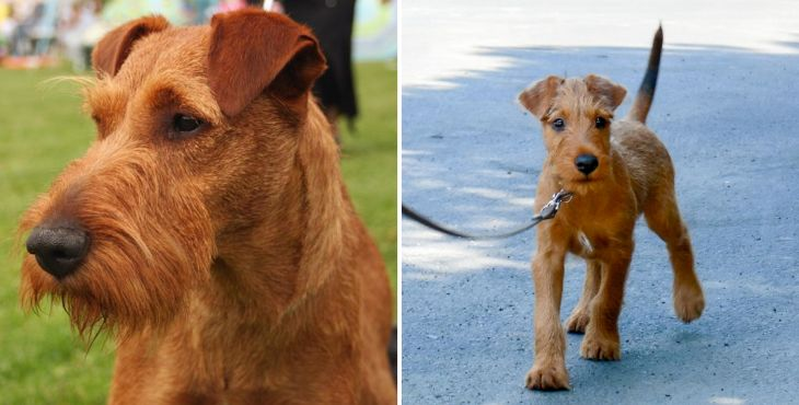 Írsky teriér (Irish terrier)