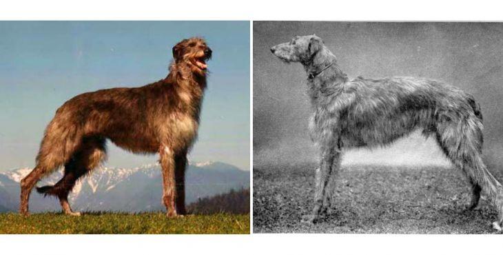 Škótsky jelení pes (Scottish Deerhound, Deerhound, skotský jelení pes)