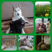 Naše zlatíčko Luna,Sibírsky Husky,3 roky.