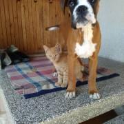 Isis Kira šteniatko nemeckého boxera vo veku 3 mesiace