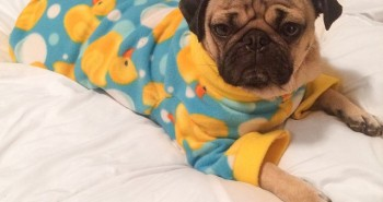 Najroztomilejší mops Dough ide spať