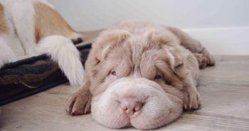 Pes, ktorý vyzerá ako medvedík a má viac priateľov, ako jeho majiteľka!