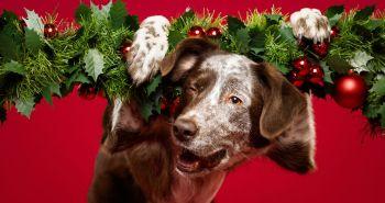 Vianoce sú tu zas a s nimi krásne portréty šťastných psíkov