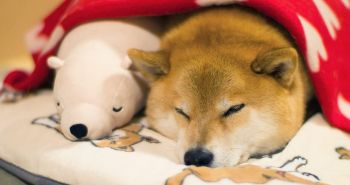 Shiba Inu spí v rovnakých polohách ako jeho medvedí kamarát