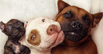 Pitbully Pikelet a Patty Cakes pomáhajú zvieratkám v núdzi