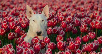 Zoznámte sa s Clarie, bulteriérkou, ktorá miluje pózovanie v kvetinových záhonoch